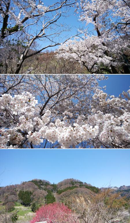 今、桜満開です!